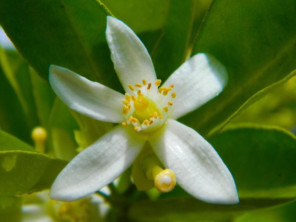flor de laranjeira aromas florais vinhobasico