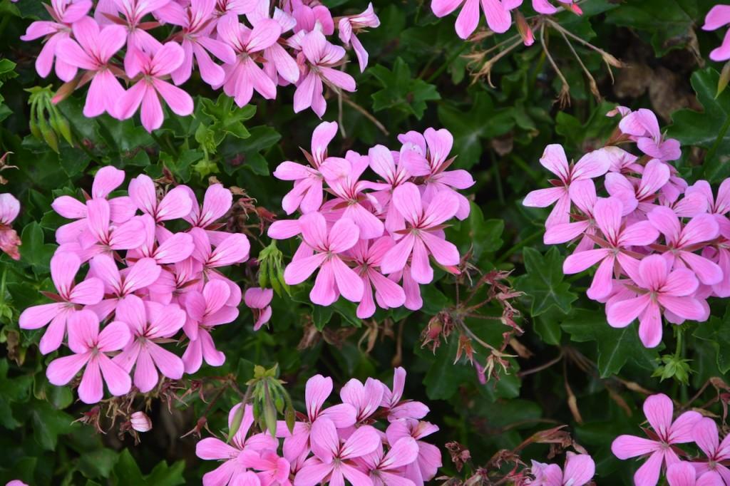 geranio aromas florais vinhobasico
