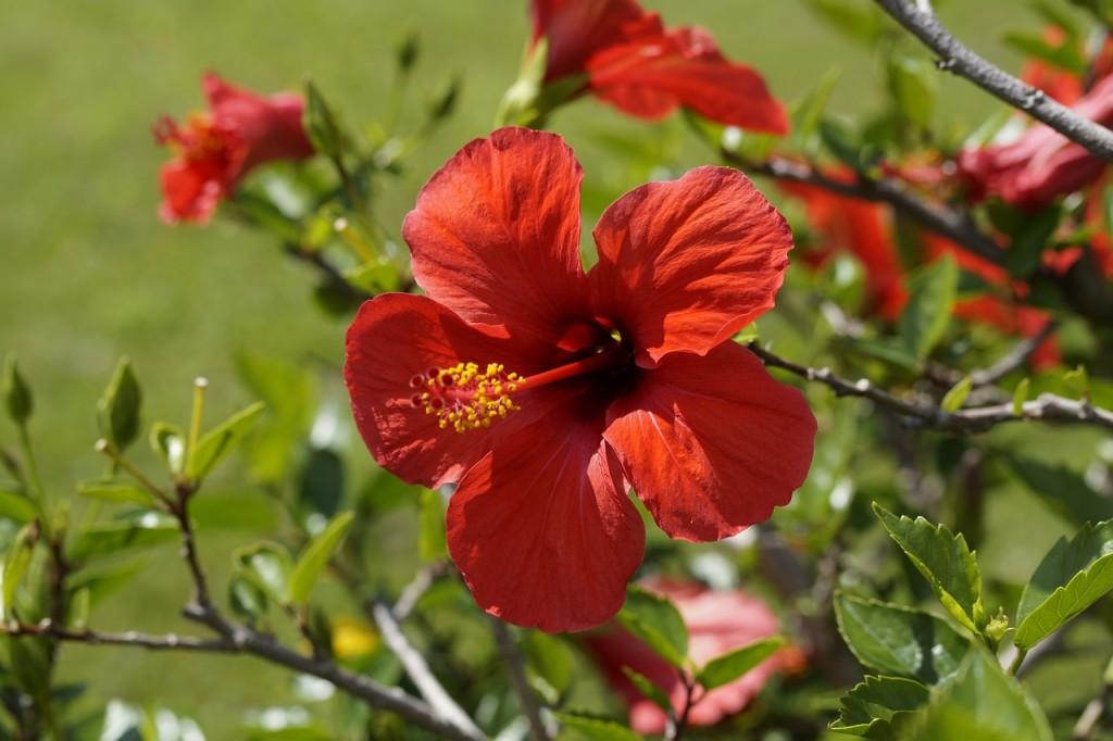 hibisco aromas florais vinhobasico
