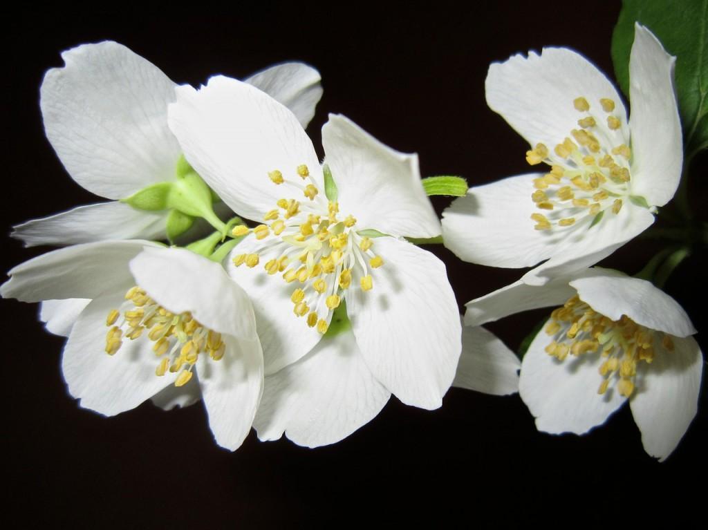 jasmim aromas florais vinhobasico