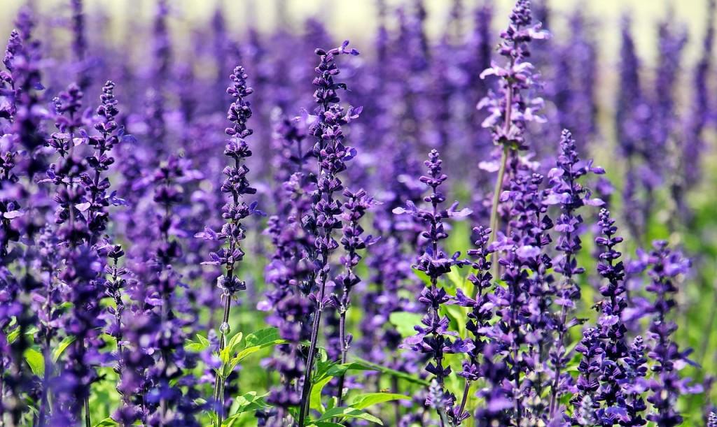 lavanda aromas florais vinhobasico