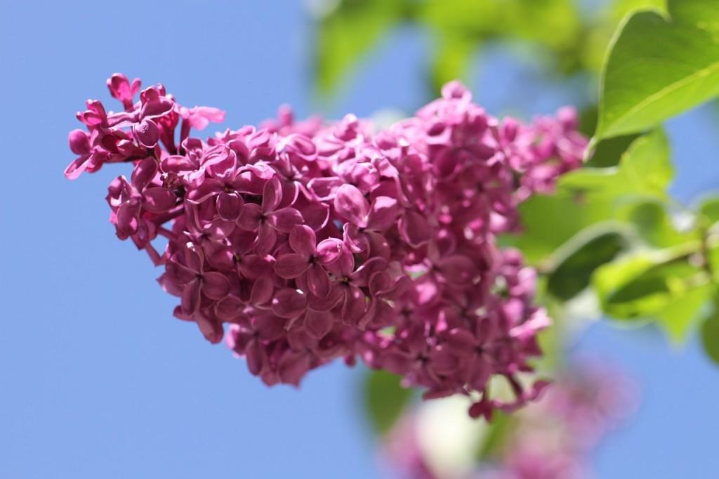 lilas aromas florais vinhobasico