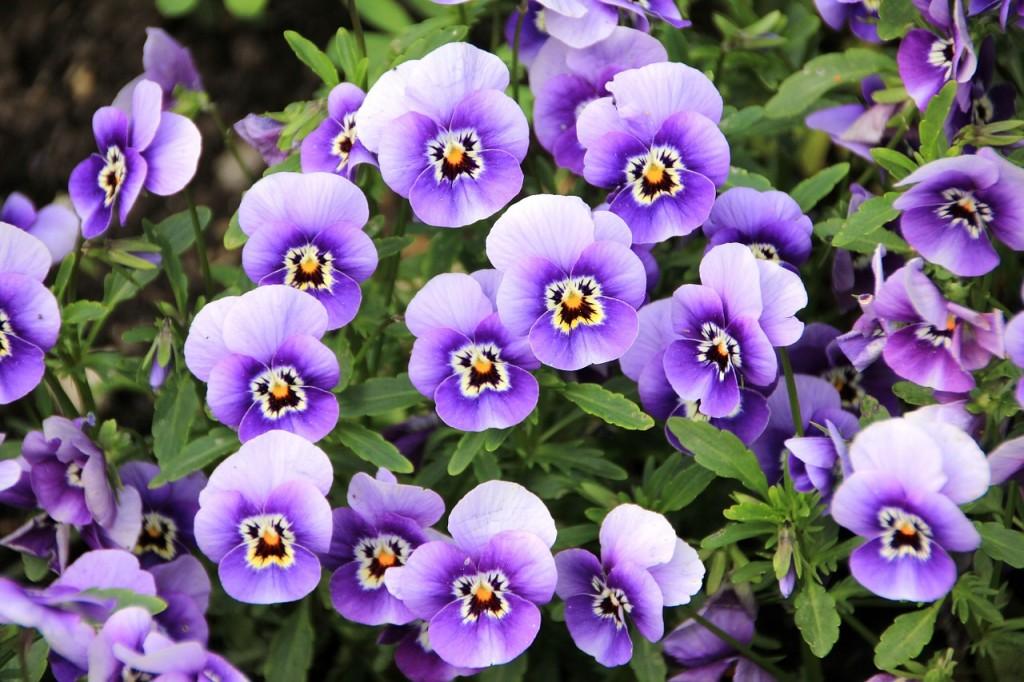 violeta aromas florais vinhobasico