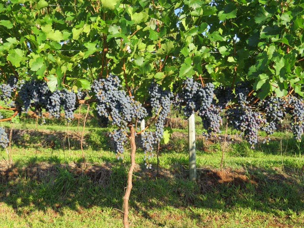 marselan uva weber vinhobasico