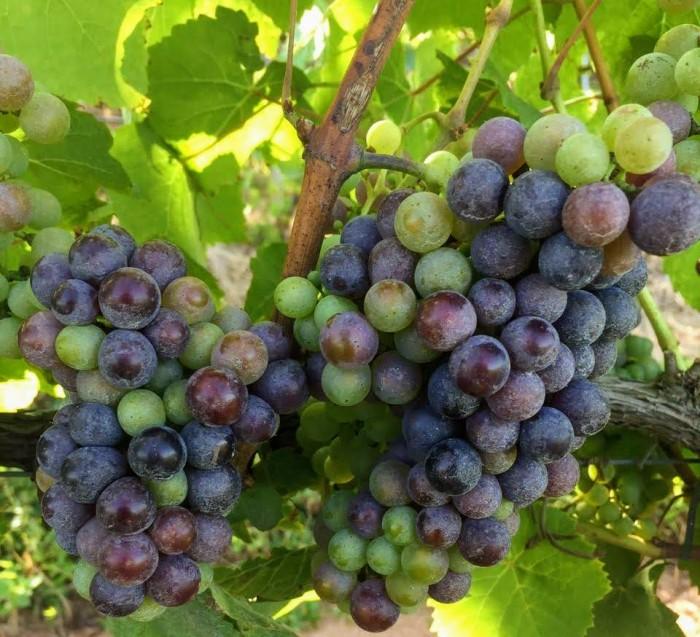 Petit Verdot Vinicola Cardenas vinhobasico